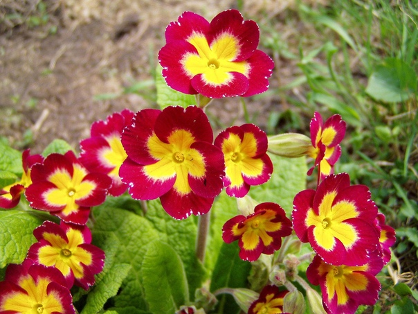 ПРИМУЛА, или ПЕРВОЦВЕТ Prímula - многолетнее травянистое растение из семейства Первоцветные (Primulaceae). С точки зрения ботаники первоцвет относят к роду примула, что означает первый,