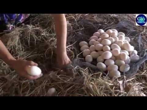 Nghề nuôi Vịt đẻ thu hoạch hơn 1000 hột mỗi đêm   ducks egg