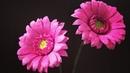 Bella's Craft/ How to make Gerbera flower by crepe paper/ Hướng dẫn làm hoa đồng tiền bằng giấy nhún