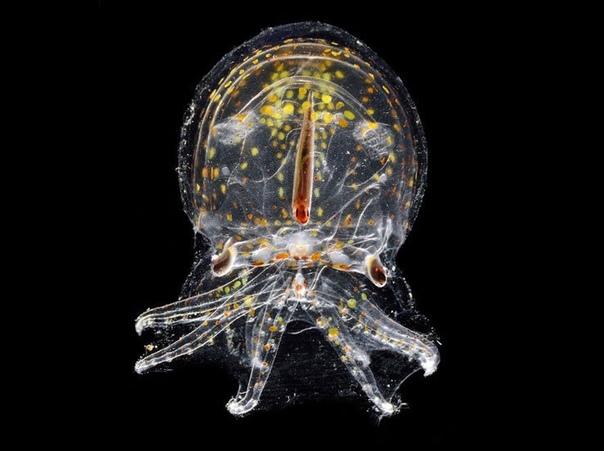 Глубоководная невидимка Свое прозрачное, желеобразное и почти бесцветное туловище осьминог Vitreledonella richardi, обитающий в тропических и субтропических водах всех океанов, старается