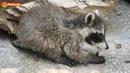 Еноты - мясоеды? Да, очень любят свежее мясо! Тайган. Raccoons - meat eaters? They love meat Taigan