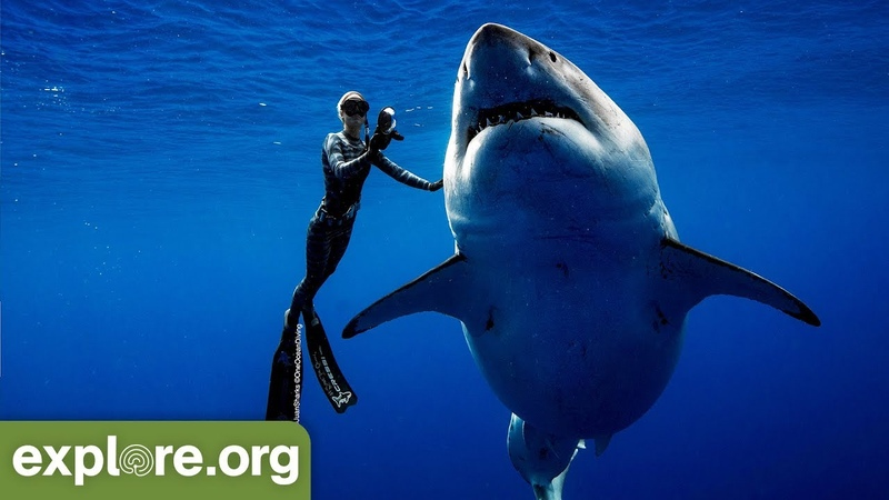 Ocean Ramsey Encounters GIANT 20ft Great White Shark