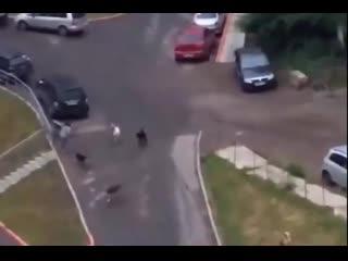 СРОЧНЫЕ НОВОСТИ! Собаки набросились на девушку