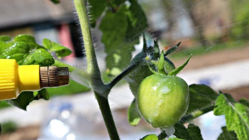 Подруга все лето брызгает помидоры только этим они у нее висят огромные краснеют прямо на кусту
