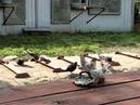 Николаевские голуби Сергея Родионова Давайте знакомиться. Волгоград. Часть 31.