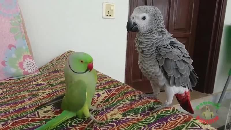 ринг с серым попугаем