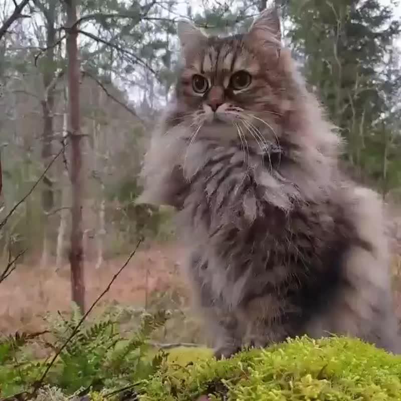 Skogkatt - норвежская лесная кошка