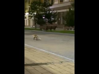 В отсутствии людей на улицы Красной поляны вернулись лисы