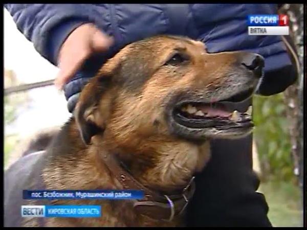 В поселке Безбожник местные жители спасают от волков домашних собак ГТРК Вятка