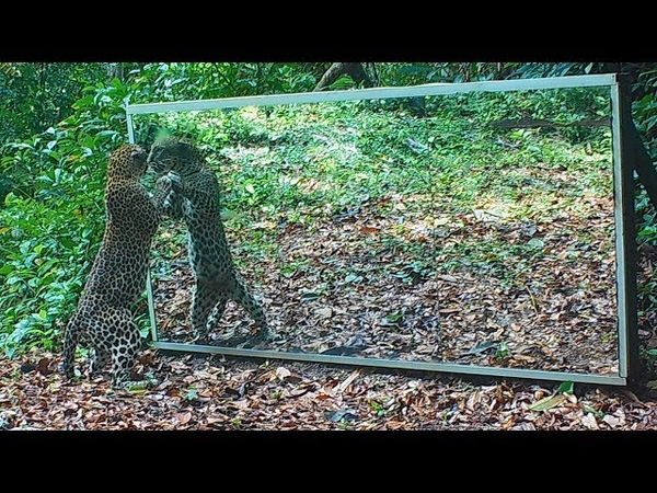 For leopard fanatics, a female tries to charm her reflection in a huge mirror set up in the jungle