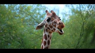 Как говорит жираф