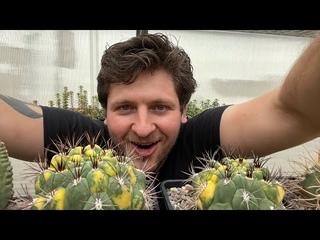 Цветные вариегатные кактусы для начинающих - какие они бывают и как размножаются. Опыление кактусов