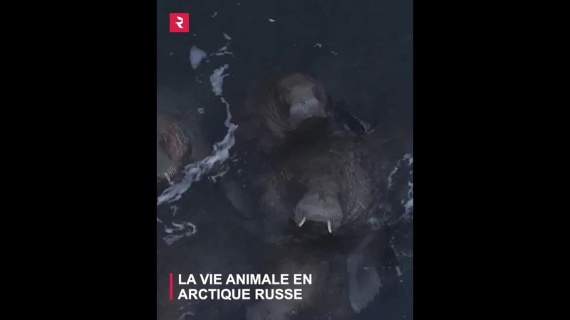 2021 01 30 la vie animale en arctique russe
