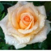 Розы чайно гибридные Клер Океан