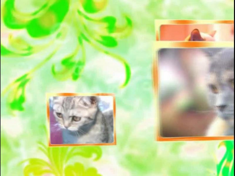 Невская маскарадная кошка (сибирский колор-пойнт)