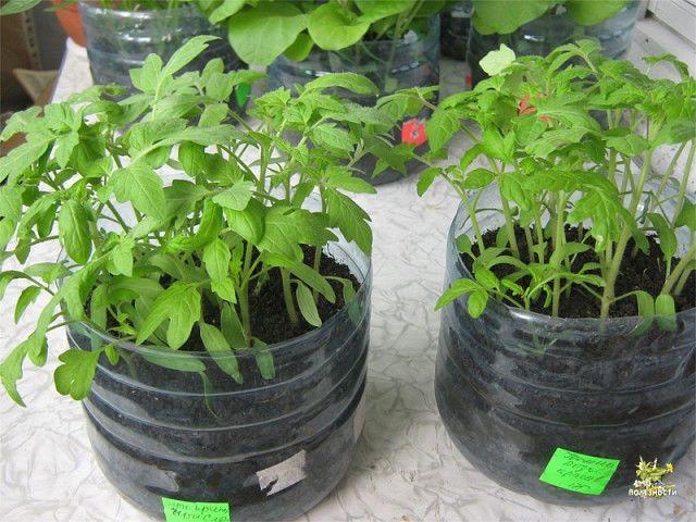 Кто попробует этот способ выращивания рассады – другого уже никогда применять не будет.