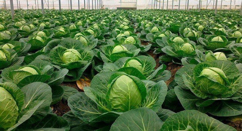 Правильная агротехника капусты - залог высоких урожаев 📌