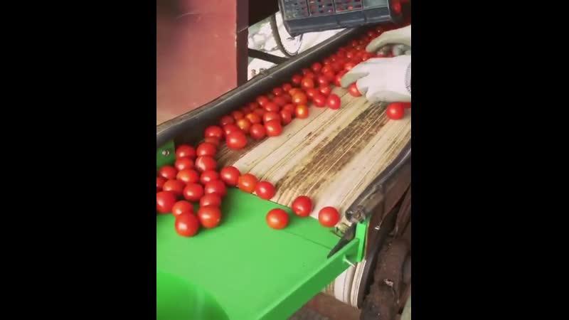 Сортировочная машина для помидоров