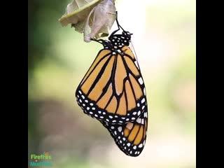 Чудеса природы  - рождение бабочки из кокона