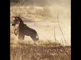 A thrilling moment as a single lioness takes on a zebra rolling in the dirt