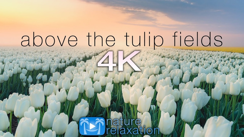 ABOVE THE TULIP FIELDS (4K) Holland Spring 2 HR Aerial Drone Film Calming Music - Quarantine 2020