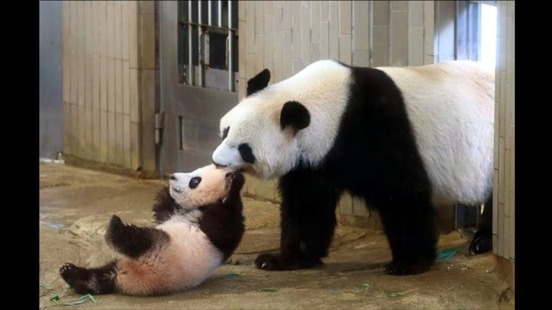 Cute Animals Cute Baby Panda Videos Compilation Soo Cute 2