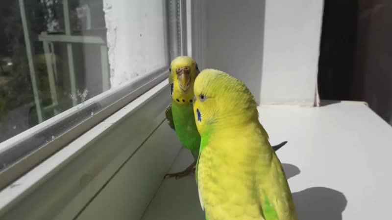 папугаи Снежаны