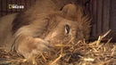 «Дикие сердцем: Спасение цирковых львов» (Документальный, природа, животные, 2007)