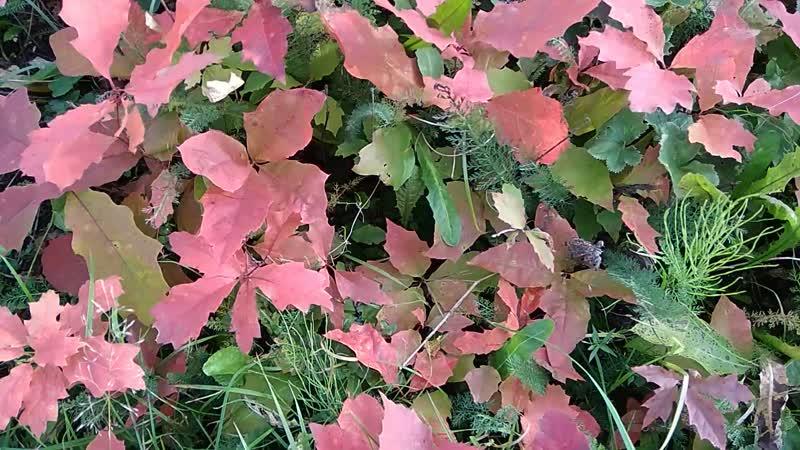 Красный дуб в Вологде