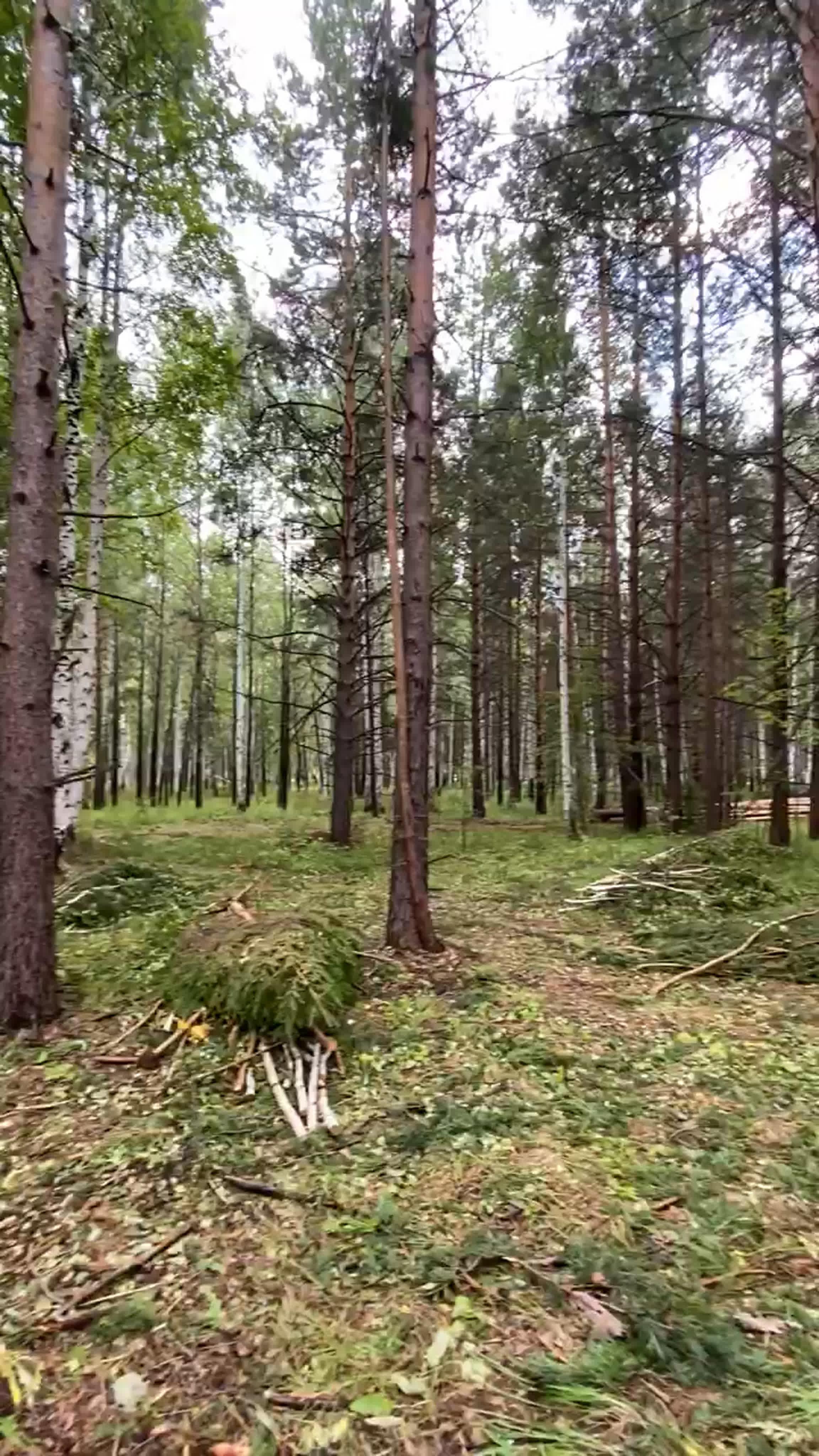 Воскресный лес пахнет хвоей и грибами. Умиротворяюще